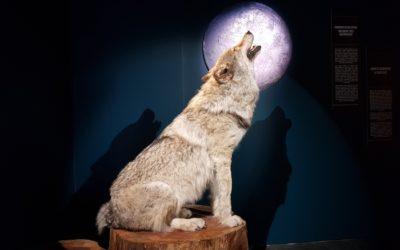 Quand on parle du loup…